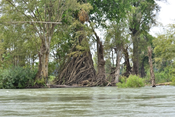 During the rainy season the river flows so quickly that the roots grow in the direction of the current.