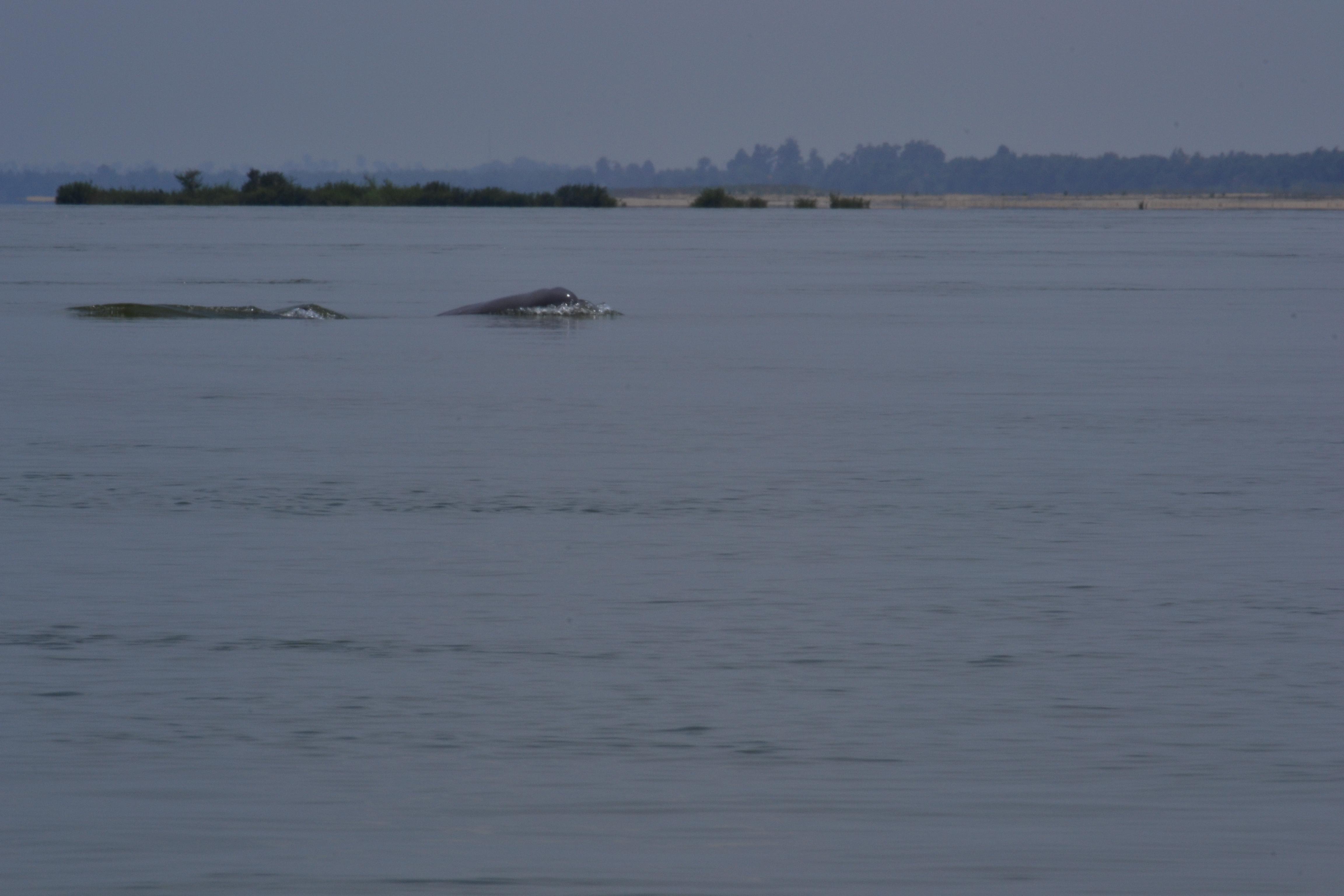 Irawaddy Dolphin.